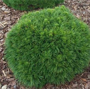 Pinus mugo Varella 30 35 cm Pot C7.5L