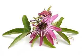 Passiflora Victoria Pot C2-3L ** fleurs de la passion **