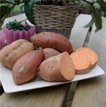 Ipomoea batatas Beauregard Pot C1.5 ** patate douce rouge **