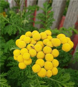 Tanacetum vulgare Crispum Pot C 1.5 ** Tanaisie **