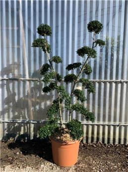 Ilex crenata Bonsai 2 troncs  120 140 cm Pot C20