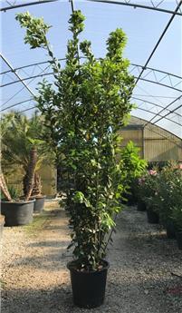 Laurus nobilis 250 300cm Pot C45-50  XXL ** Laurier sauce **
