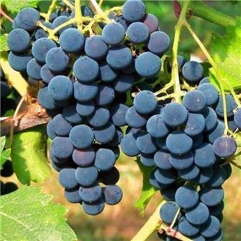 Vitis vinifera Clinton Pot C3  ** Raisin Framboise ** Très résistante aux maladies et au froid **