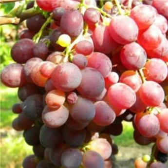 Vitis vinifera Zemira Pot C3 ** Très résistante aux maladies **