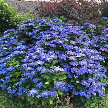 Hydrangea mac teller bleu Blue Sky Pot C5