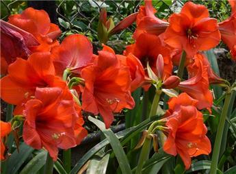 Amaryllis Jumbo Rouge * 1 pc cal.40/42 ** Très gros bulbes, très grandes fleurs **