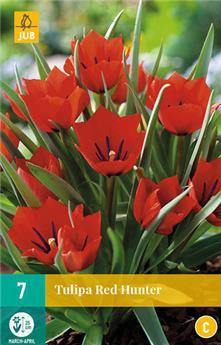 Tulipe Red Hunter * 7 pc cal.6/+ * Botanique **
