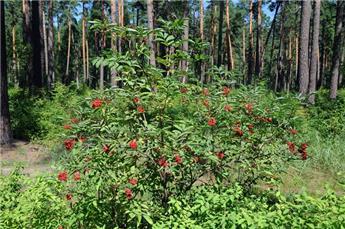 Sambucus racemosa Pot C3L