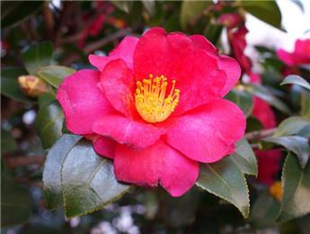Camellia japonica Dr King (rouge) Pot C15 9 ans