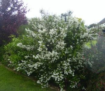 Deutzia scabra Pride Of Rochester Pot C3