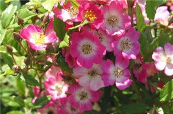 ROSIER Mozart (rose) grimpant Pot C.5L RC TIPI