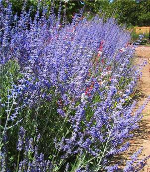 Perovskia atriplicifolia Lacey Blue Pot C3