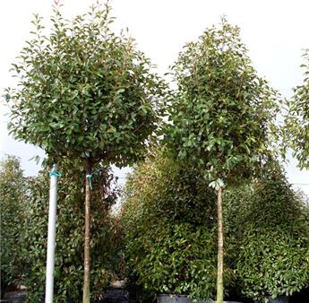 Photinia fraseri Red Robin tige 10-12 C30