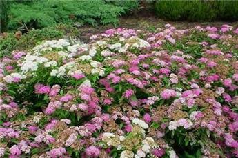 Spiraea japonica Shirobana Genpei