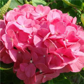 Hydrangea macrophylla Bouquet Rose Pot C5L