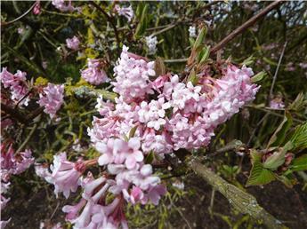 Viburnum bodnantense Dawn 125 150 * XXL ** Parfumé **
