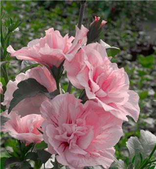 Hibiscus syriacus Pink Chiffon C10