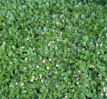 Cotoneaster dammeri Radicans Pot C1.5  **Promotion **