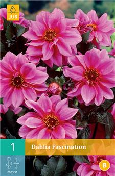 Dahlia Fascination * 1 Pc