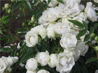 Rosier Morsdag Blanc Snovit