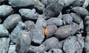 Lonicera kamtschatica Bee My Berry  c3 50