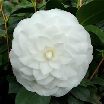 Camellia japonica Nuccio Gem 10 ans Pot C15