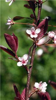 Prunus cistena DT P34