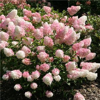 Hydrangea paniculata Vanille Fraise C15