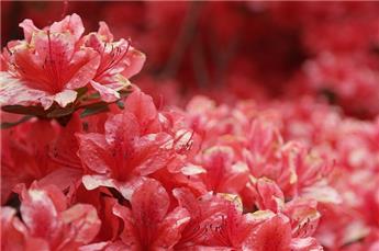 Azalea japonica Gilbert Mullier Pot C3