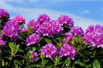 Rhododendron Ponticum 100 125 D 100 ** Plante XL **