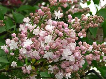 Syringa vulgaris Beauty of Moscow Pot C12