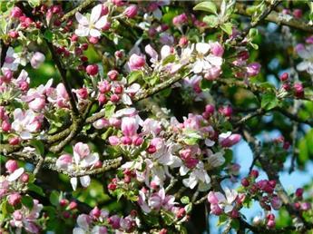 Soignez ses fruitiers au printemps