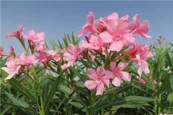 Nerium oleander P40
