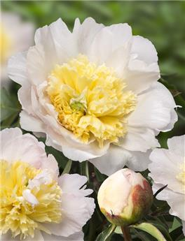 Paeonia lact. Honey Gold Pot 23