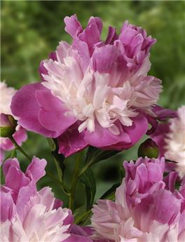 Paeonia lact. Gay Paree Pot 23