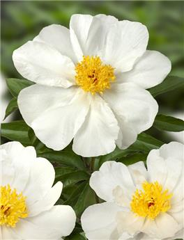 Paeonia lact. White Wings Pot C2 ** Blanc simple **