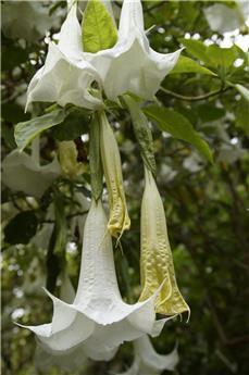 Brugmansia Datura Blanc Pot 23 buisson