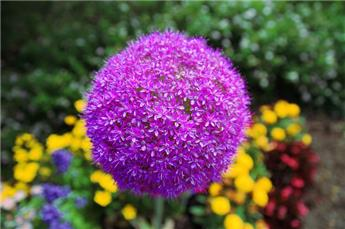 Allium globemaster Pot C2