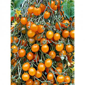 Tomate BLONDKÖPFCHEN rare P9