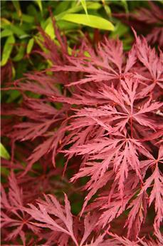 Acer palmatum dissectum Stella Rosa Tg 100 cm Tête 150 cm Pot C110  ** Une pièce exceptionelle **