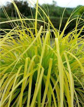 Carex oshimensis Everillo Pot C3