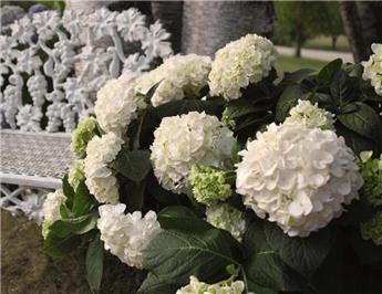 Hydrangea mac endless summer white c5
