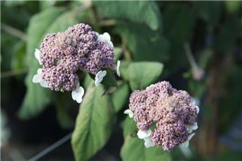 Hydrangea aspera Macrophylla C10