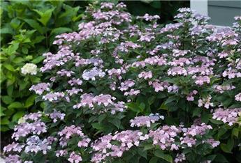 Hydrangea macrophylla Endless Summer Twist and Shout Pink Pot P29 - C12L