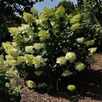 Hydrangea paniculata Phantom Pot C5