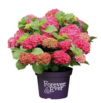 Hydrangea macrophylla Forever And Ever White Pot C5L