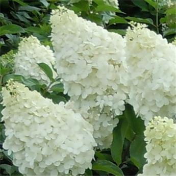 Hydrangea paniculata Polar Bear Pot 28