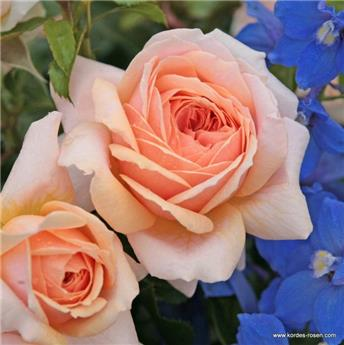 Rosier Garden of Roses Pot C5 XL