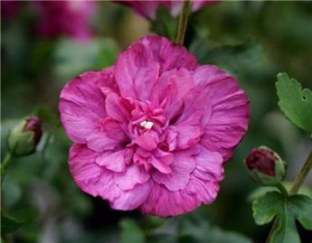 Hibiscus syriacus Magenta Chiffon Pot C10