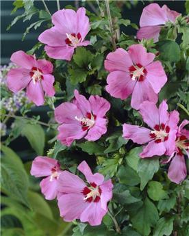 Hibiscus syriacus Woodbridge / Tige 100 cm Pot